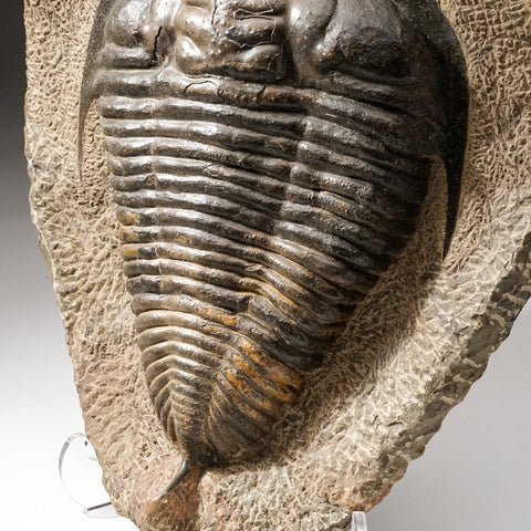 Huge Natural Paradoxides Trilobite Fossil in Matrix with Acrylic Display Stand (13 lbs)