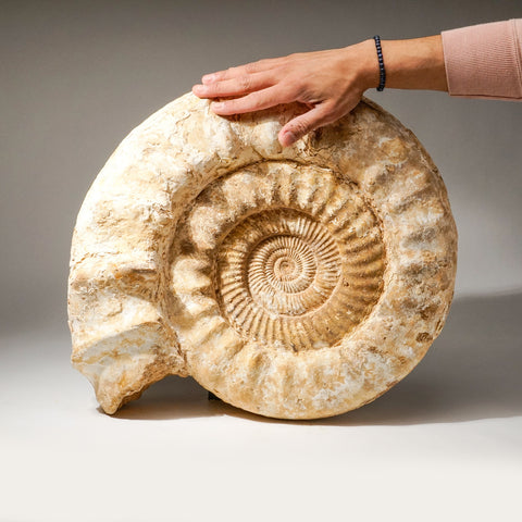 Large Ammonite Fossil from Madagascar (71.2 lbs)