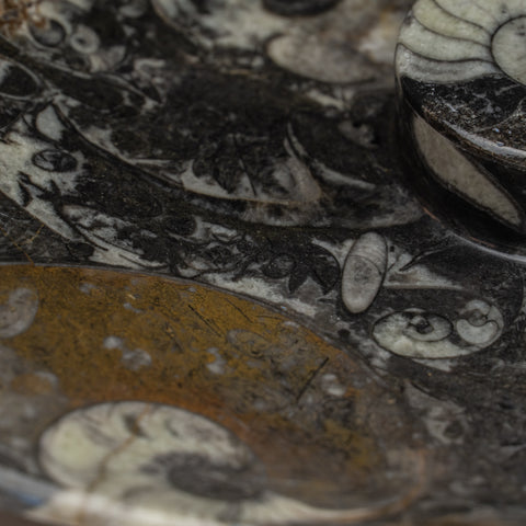 Polished Ammonite and Orthoceras Fossil Plate (.8 lbs)