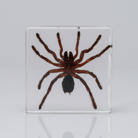 Male Tarantula in lucite