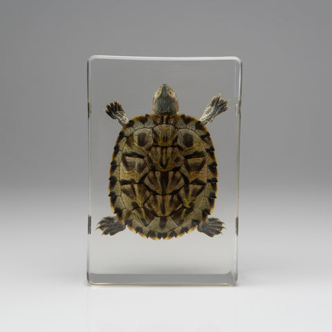 Red-Earred Slider Turtle in Lucite