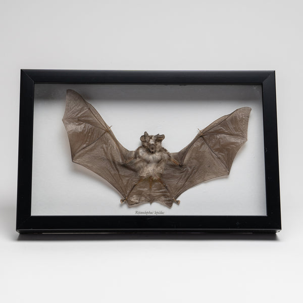 Genuine Rhinolphus Lepidus, The Horshoe Bat, in a Display Frame