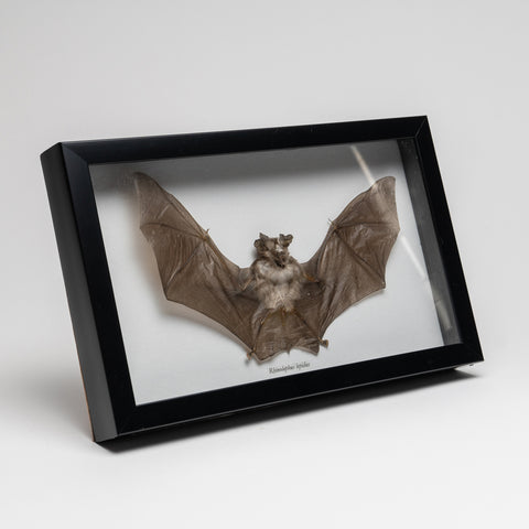 Genuine Rhinolphus Lepidus, The Horshoe Bat in a Display Frame