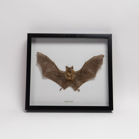 Genuine Hipposideros Bicolor, The Roundleaf Bat, in a Display Frame