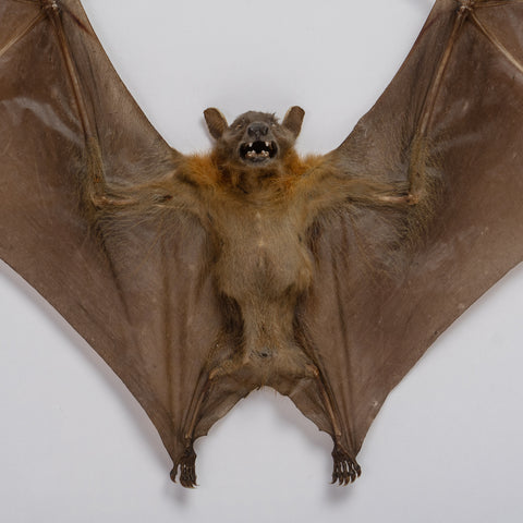Genuine Cynopterus Species, Giant Fruit Bat, in a Display Frame