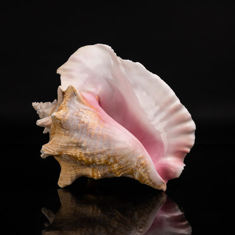Genuine Pink Conch Shell (4 lbs)