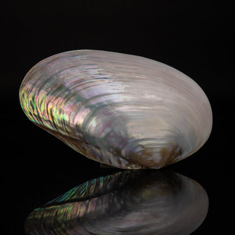 Mother of Pearl Clam Shell (.5 lbs)