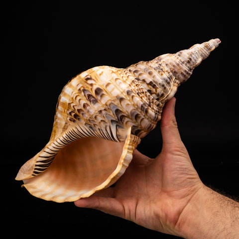 Genuine Pacific Triton Shell (1 lb)