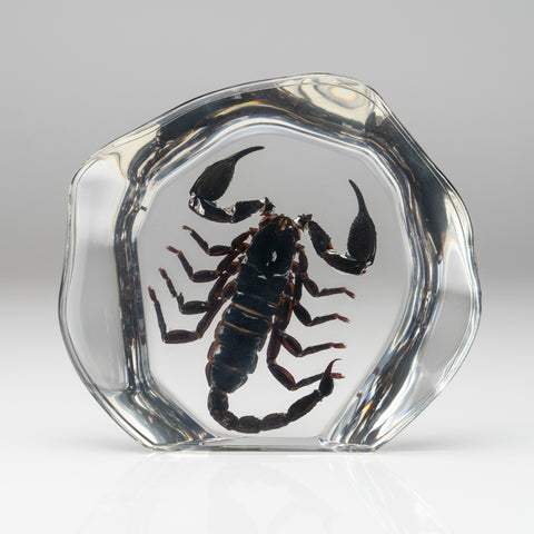Black Scorpion in Freeform Lucite
