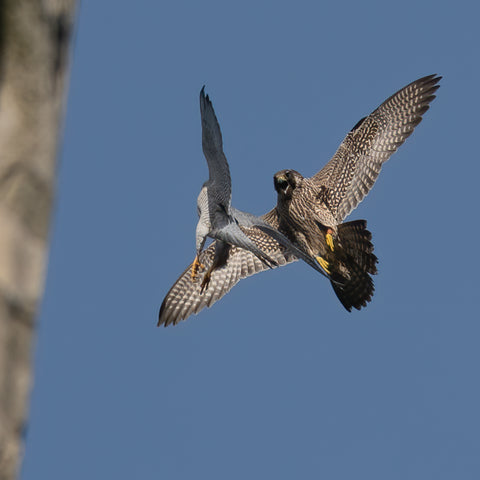 Adult male peregrine fights off juvenile intruder