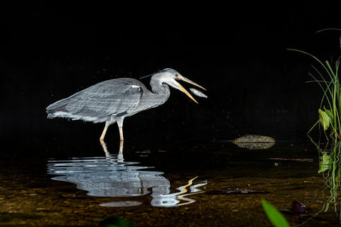 The Curious Incident of the Heron in the Night Time