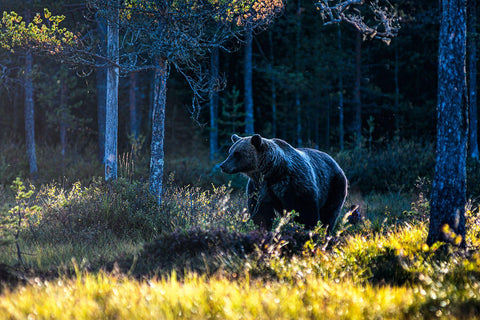 Brown Bear in the Evening Light