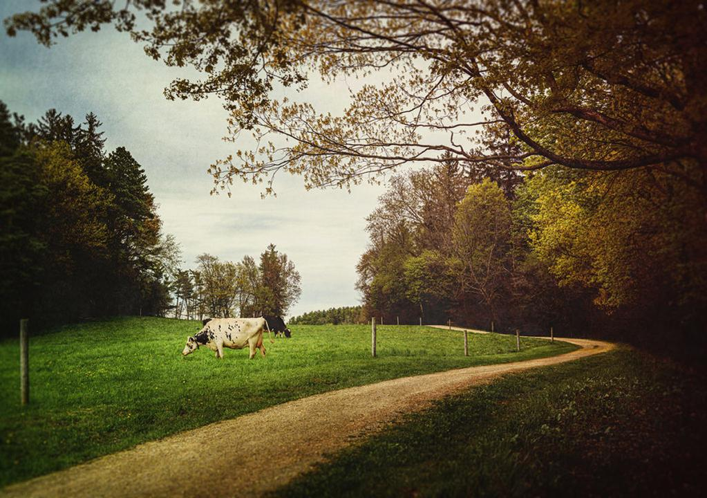 Cow grazing on green grass next to a dirt road with trees in summer, Vermont