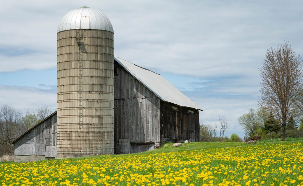 Grey Vermont barn with silo in front of a field of yellow flowers and blue sky