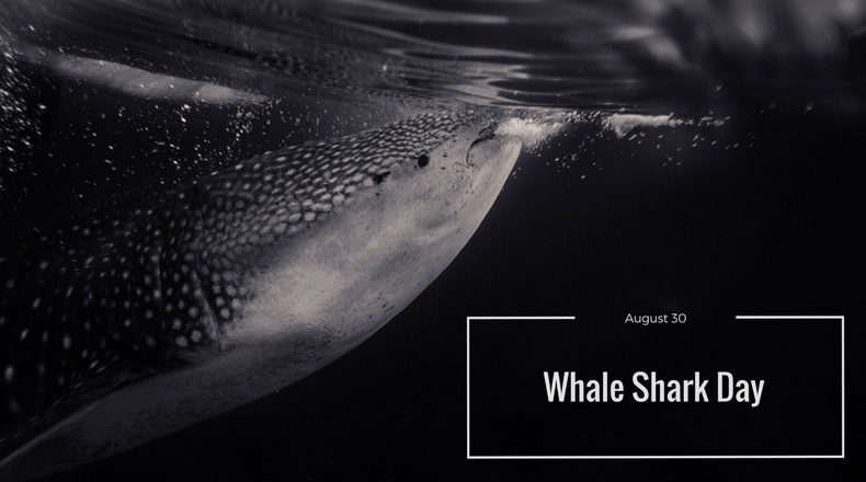 The Gentle Giants: Fascinating Whale Shark Facts