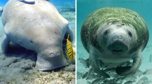 manatee dugong difference
