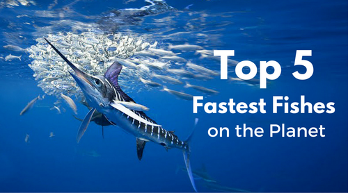 top 5 Fastest Fishes