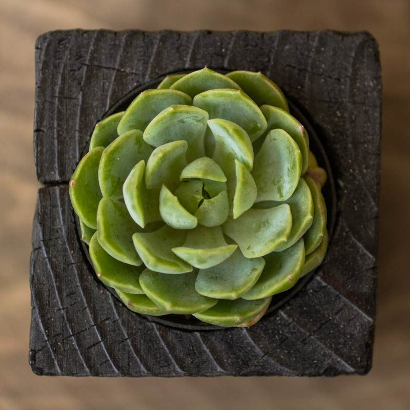 Single Succulent Wood Planter in Chaos | Hammer and Brush on diy planters, seed planters, long planters, desert planters, mccoy pottery planters, green planters, tropical planters, vegetable planters, big planters, simple planters, red planters, rose planters, beautiful planters, cactus planters, garden planters, plant planters, tree planters, bonsai planters, flower planters, orchid planters,