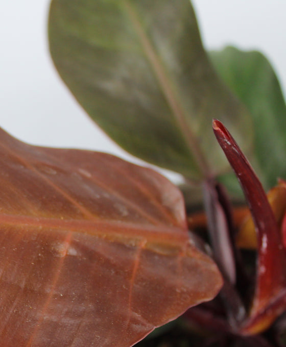 Philodendron 'Cherry Red' Image 2