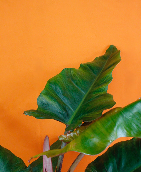 Philodendron 'Weeks Red' Hybrid Image 4