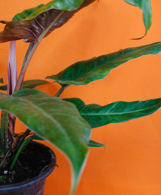Philodendron 'Weeks Red' Hybrid Image 5