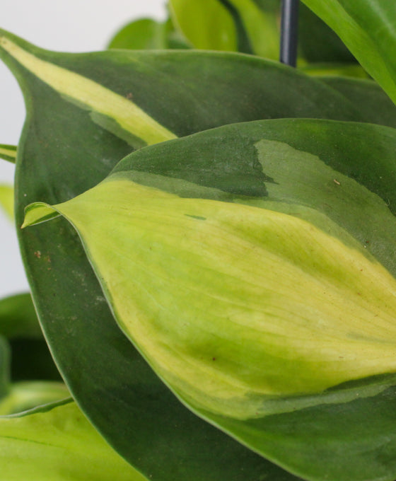 Philodendron scandens 'Brazil' Image 5