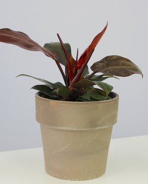 Philodendron 'Cherry Red'