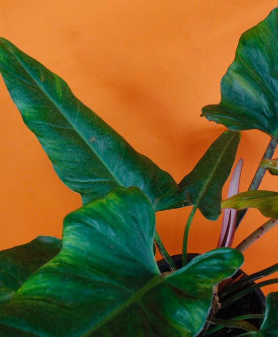 Philodendron 'Weeks Red' Hybrid Image 2