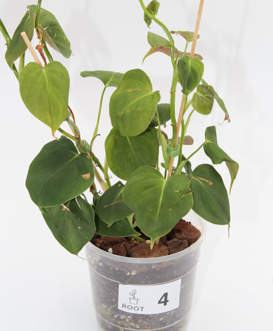 Philodendron lupinum Image 4