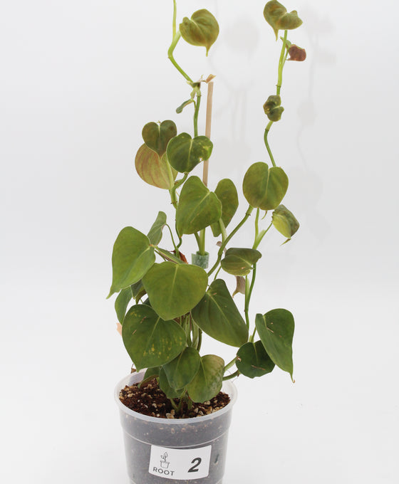 Philodendron lupinum Image 2