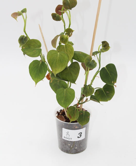 Philodendron lupinum Image 3