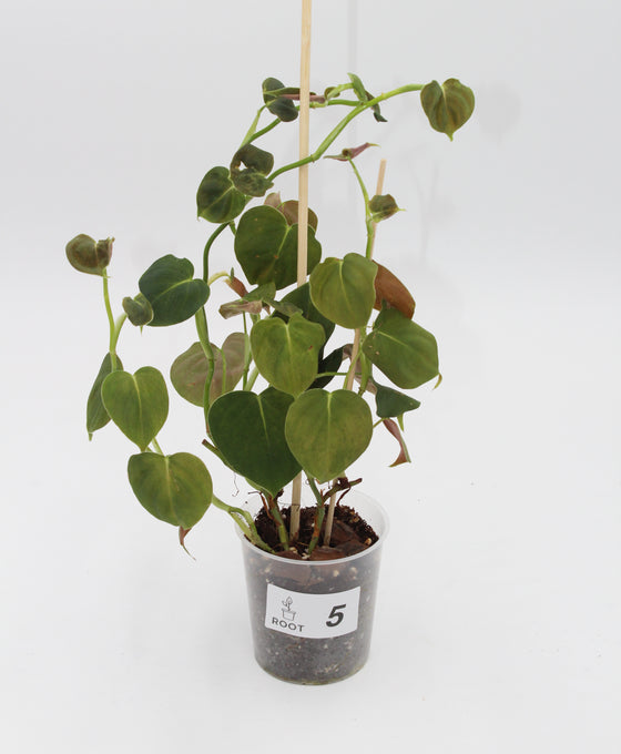 Philodendron lupinum Image 5