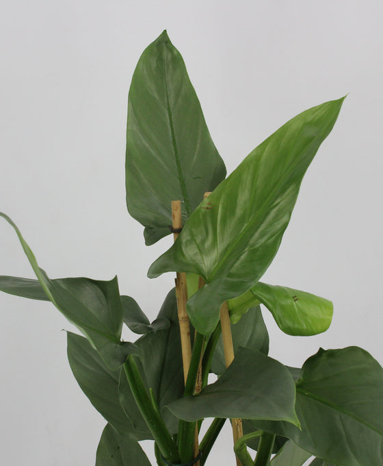 Philodendron hastatum 'Silver Queen' Image 2