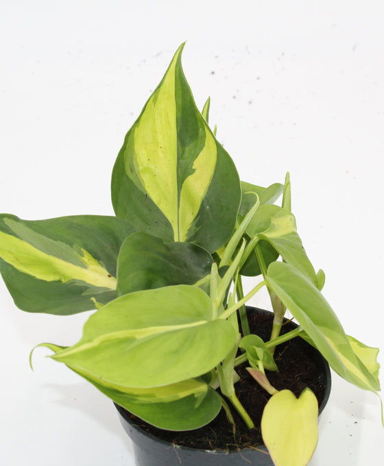 Philodendron scandens 'Brazil' Image 2