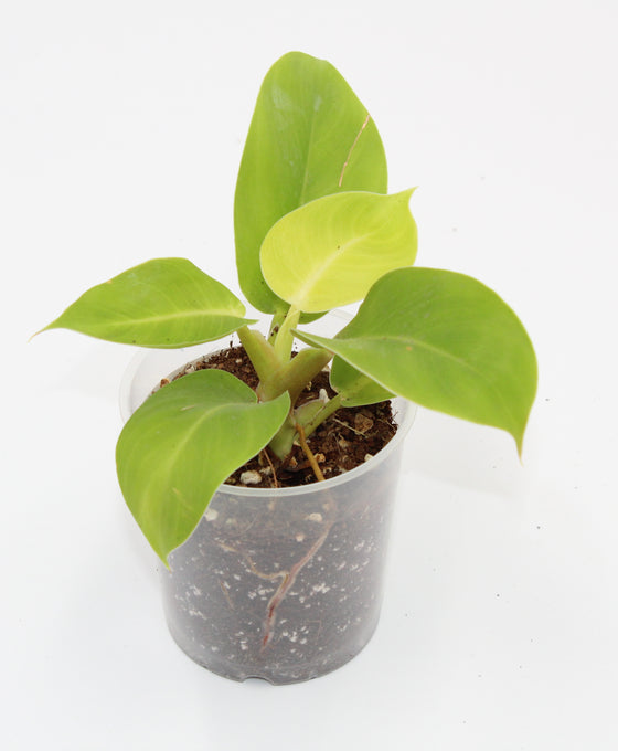 Philodendron 'Moonlight' Image 1
