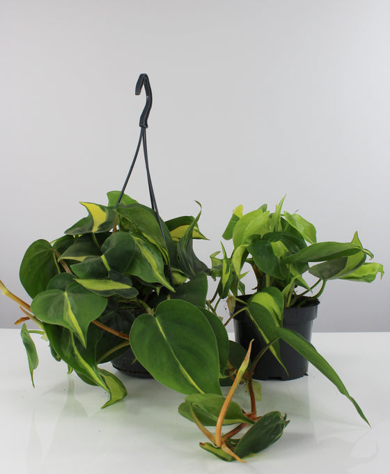 Philodendron scandens 'Brazil' Image 1