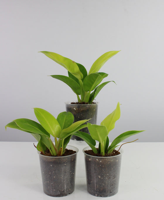 Philodendron 'Moonlight' Image 2