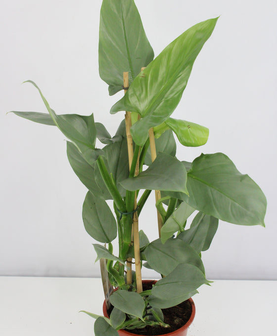 Philodendron hastatum 'Silver Queen' Image 1