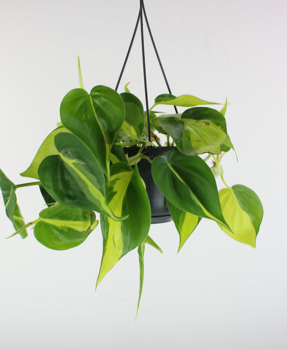 Philodendron scandens 'Brazil' Image 3