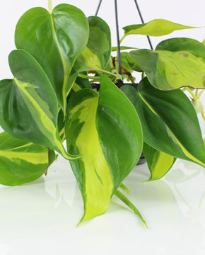 Philodendron scandens 'Brazil'