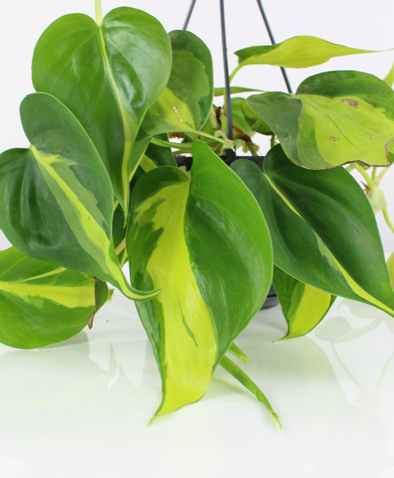 Philodendron scandens 'Brazil' Image 4