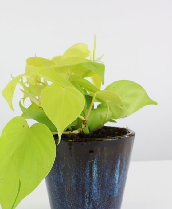 Philodendron hederaceum 'Lemon Lime' Image 1
