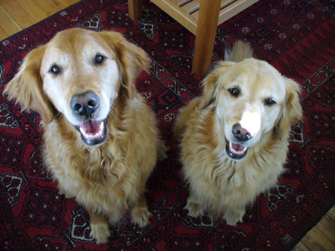 Two golden retriever dogs sitting.