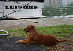Creole dog and boat at Margot Bay, St. Luca