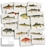 North American Fish Postcard Bulk Pack Of 16 - Fishing - Outdoors - Nature - Post Cards - Wall Art - Scrapbook