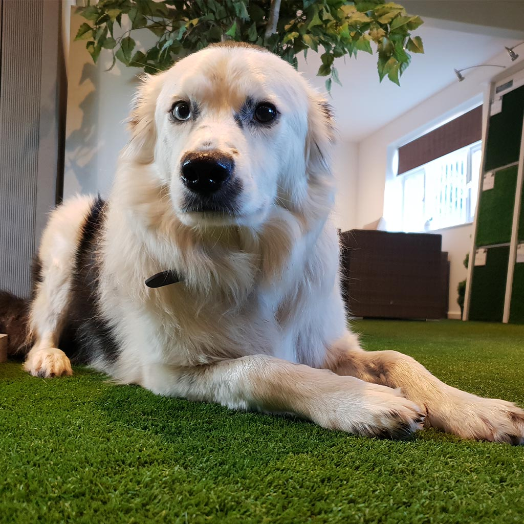 Select Living Group dog on artificial grass