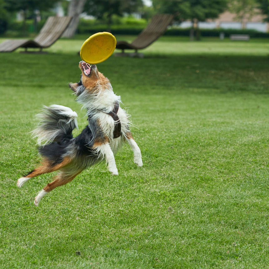 dog frisbee artificial grass lawn garden
