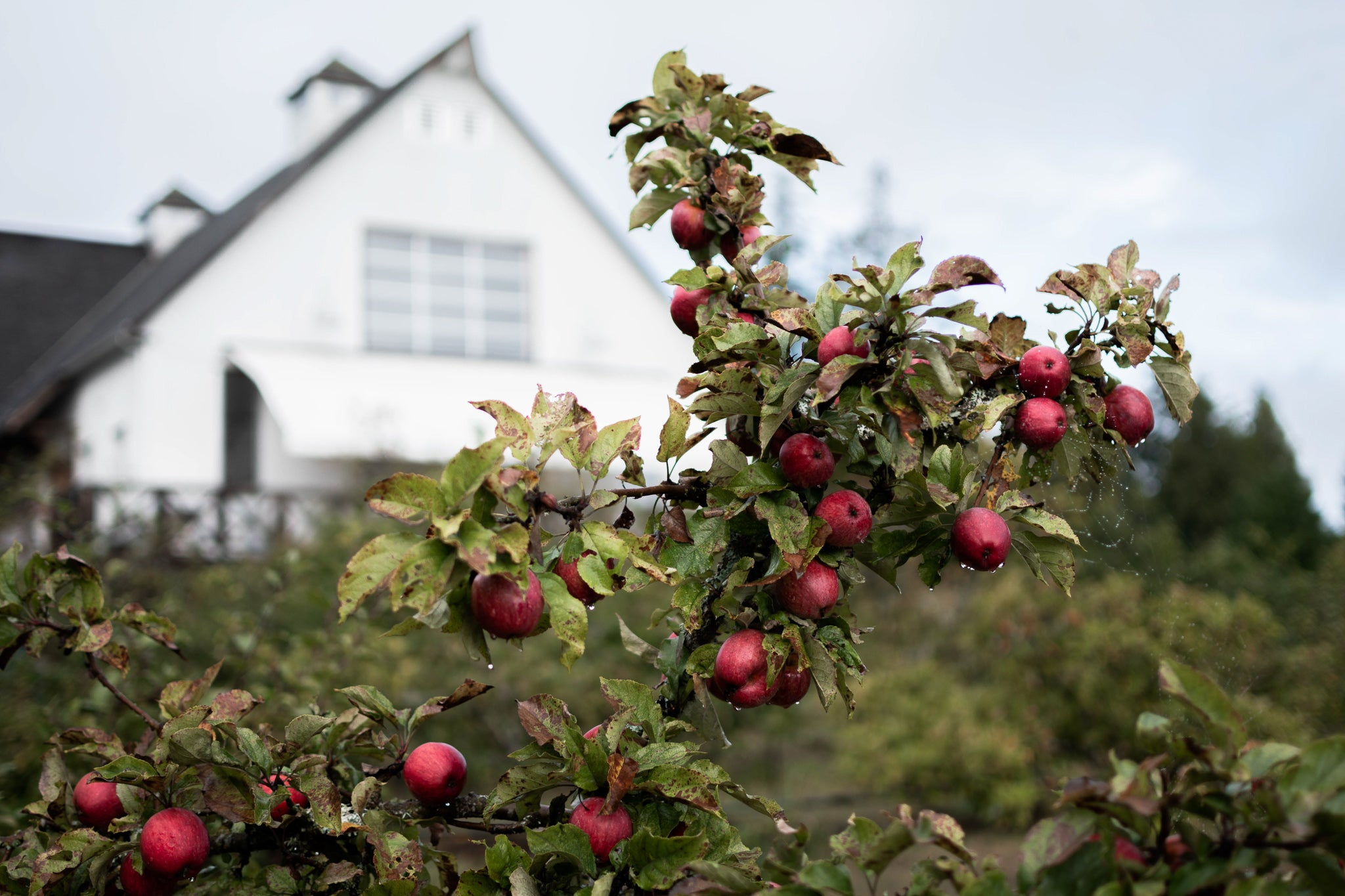 Sea Cider Farm and Ciderhouse orchard in the fall ready to harvest the apples