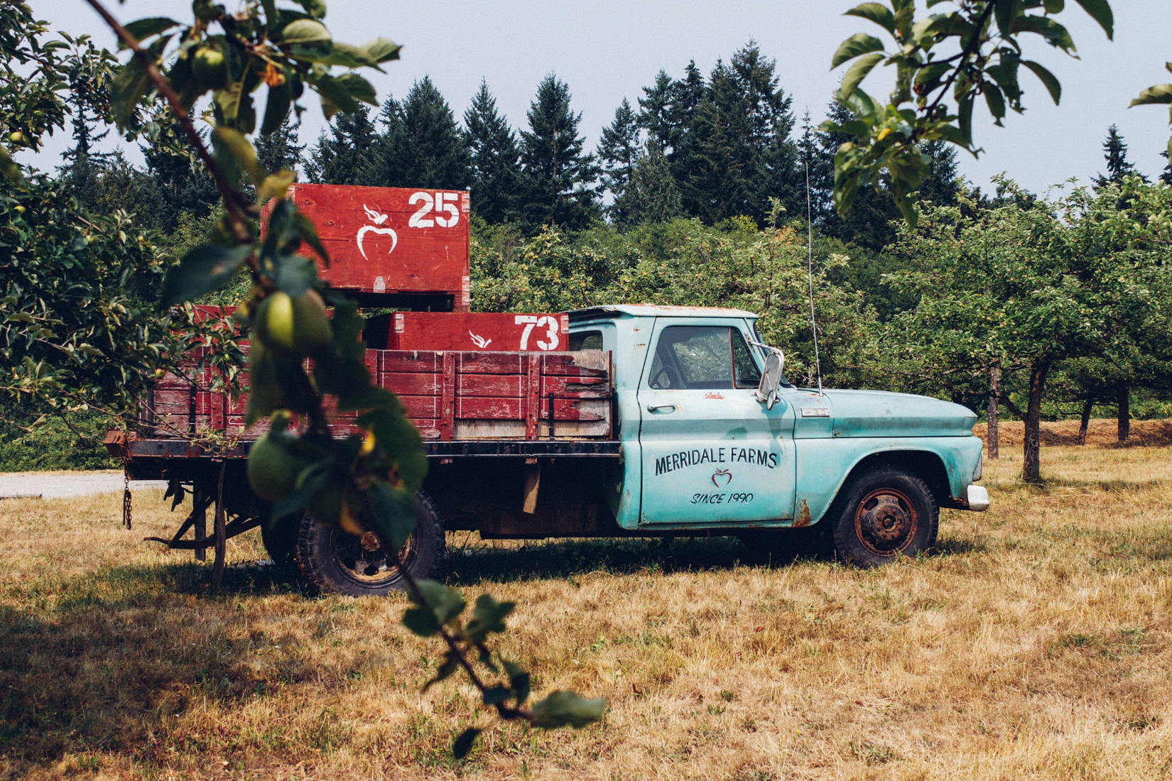 Merridale Cider is a larger cidery in the Greater Victoria Region, and pictured is a turquoise old pickup truck carrying crates for apples within the orchards.