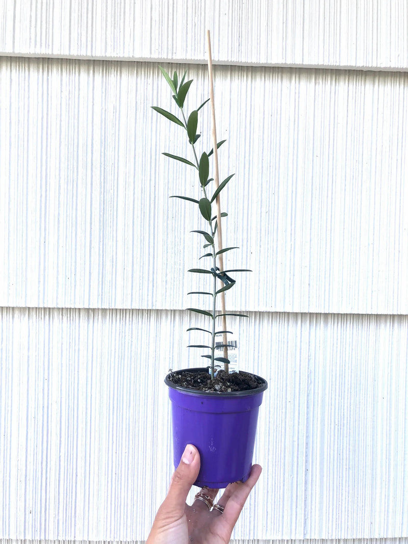 Olive Tree- Small 4""